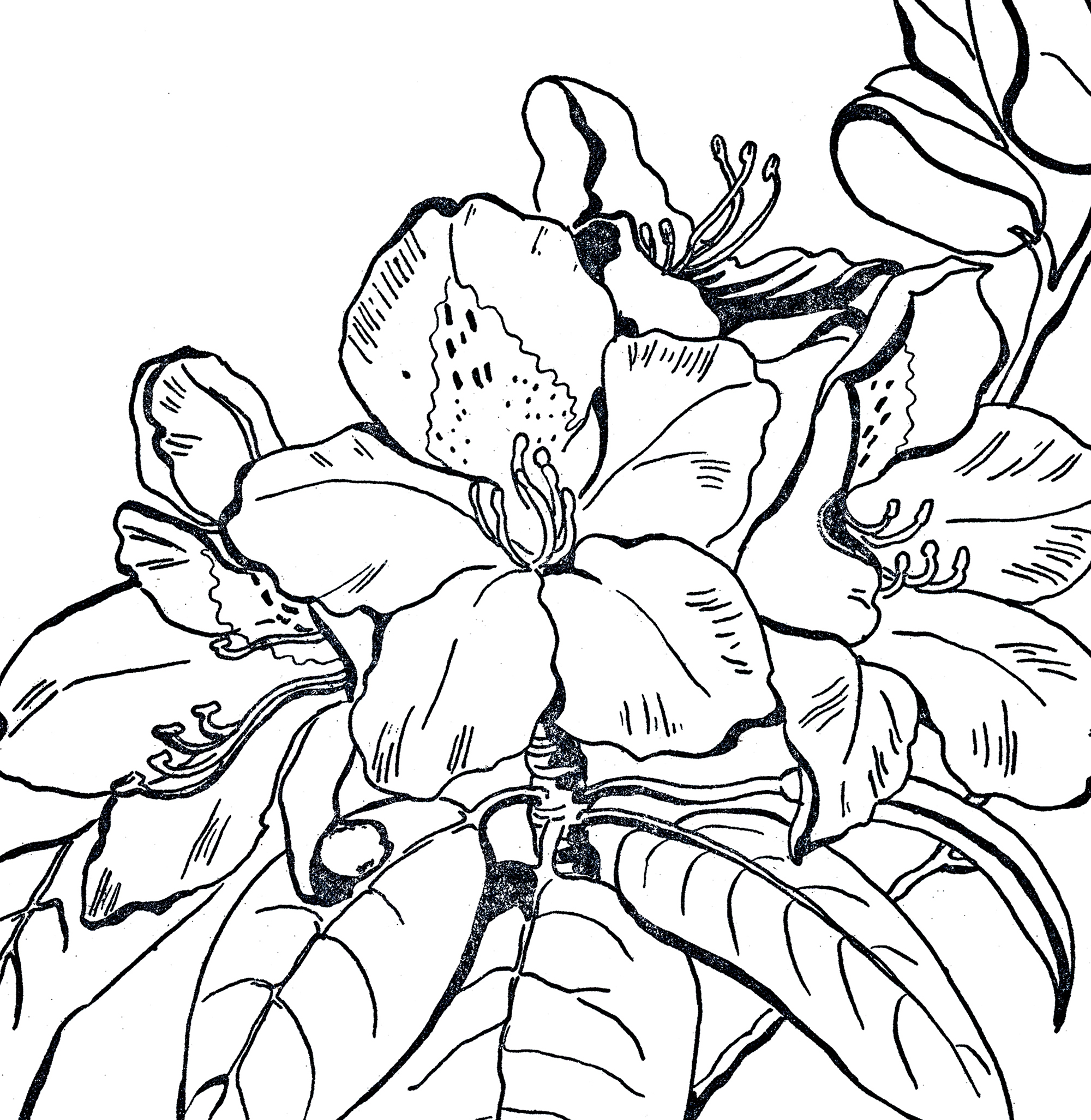 2000x2054 Rhododendron Line Art