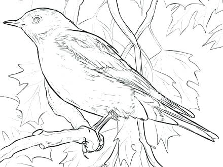 440x330 Coloring Mountain Mountain Lion Coloring Pages Mountain Bluebird