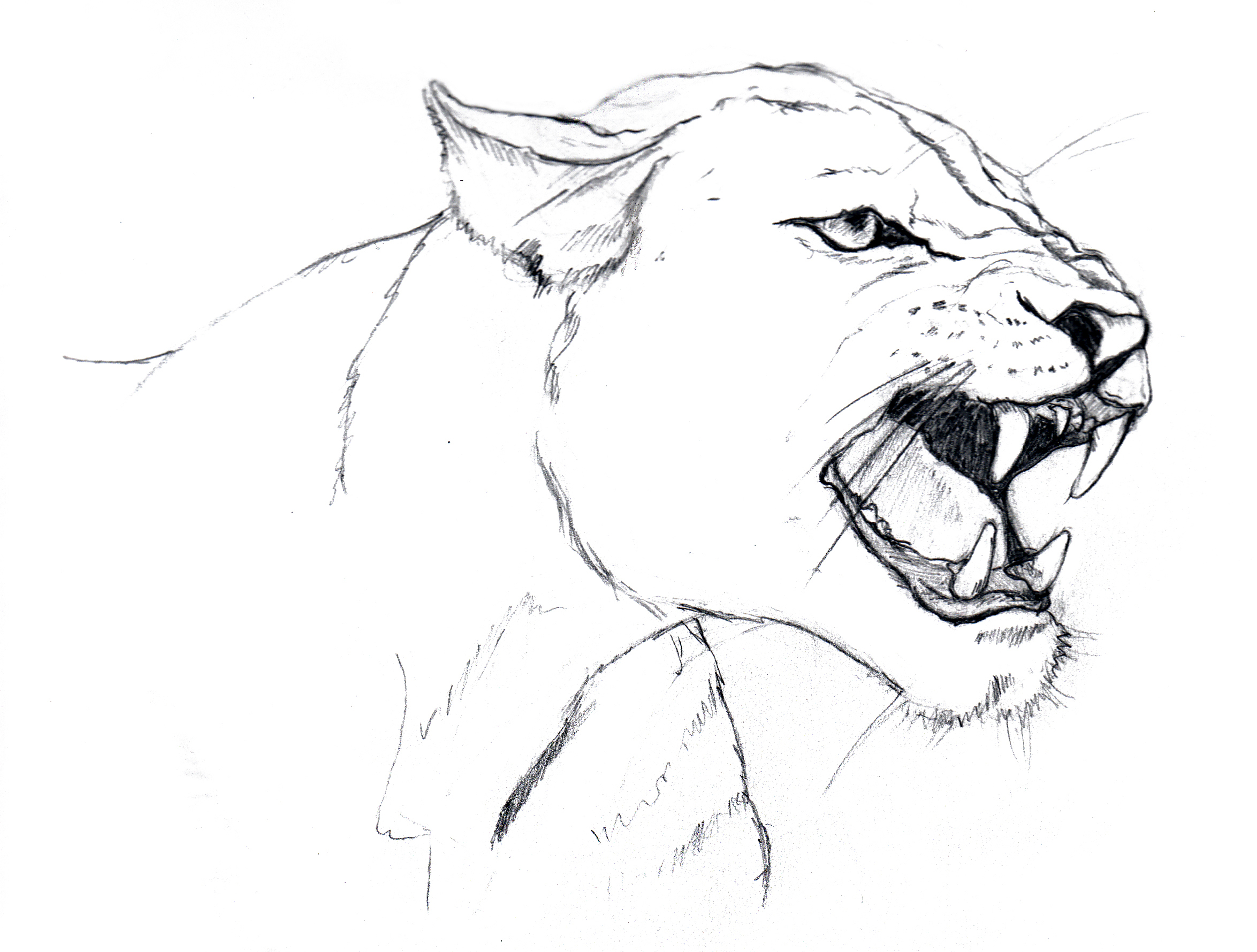 2349x1779 Lioness Coloring Pages