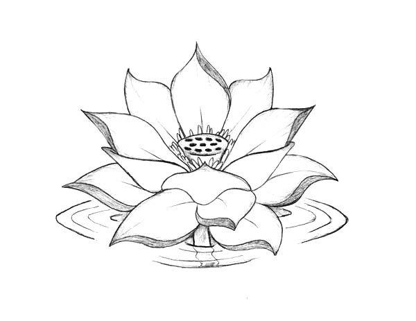 600x463 Lotus Flower, Lotus Flower Blooming On The Water Coloring Page