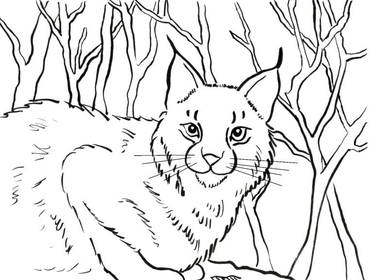 760x577 Bobcat Coloring Pictures Click Here To Print And Color Lynx