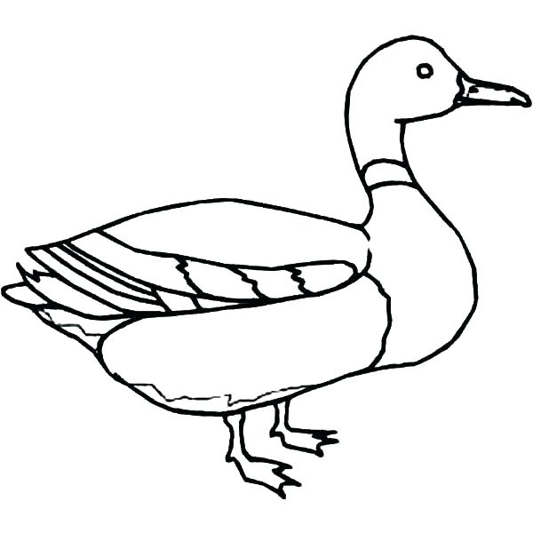 600x600 Duck Outline Coloring Page Of A Duck Mallard Duck Outline Coloring