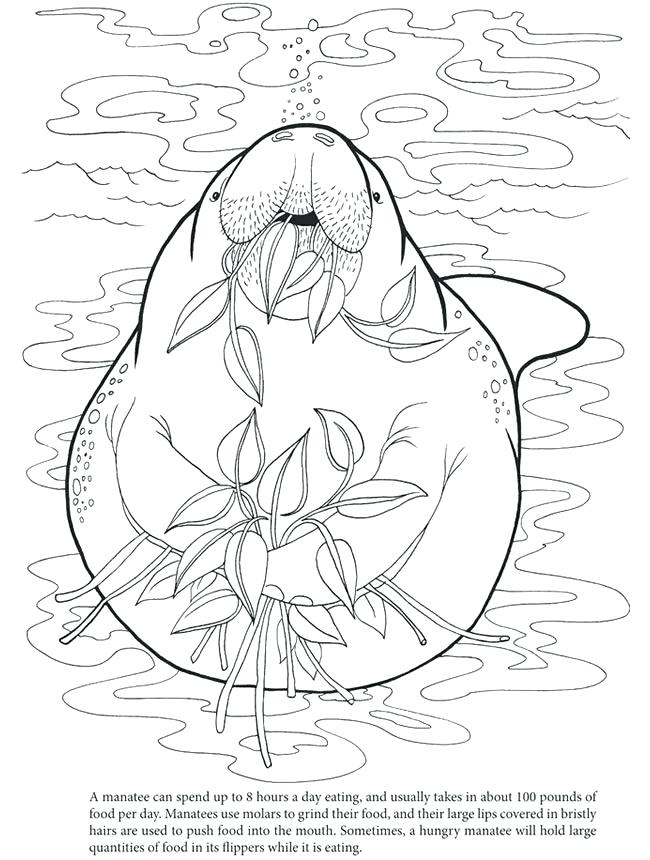 650x860 Manatee Coloring Page Hungry Manatee Colouring In Sheet Manatee
