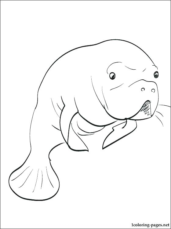 560x750 Manatee Pictures Sea Cow Coloring Page Manatee Florida Manatee