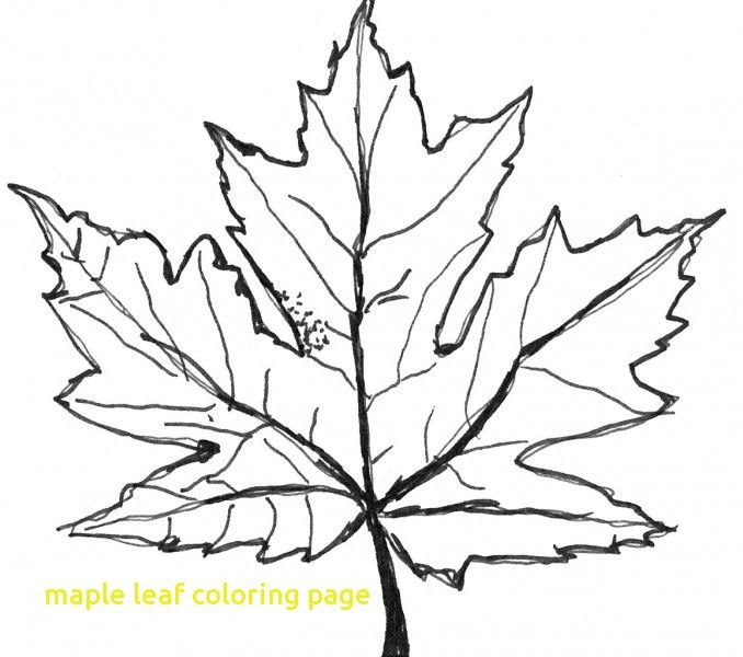 678x600 Maple Leaf Coloring Page With Free Coloring Pages Maple Leaf