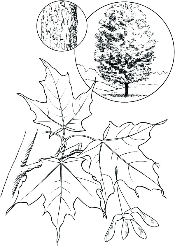 600x844 Maple Tree Coloring Page Maple Leaf Coloring Pages Maple Leaf