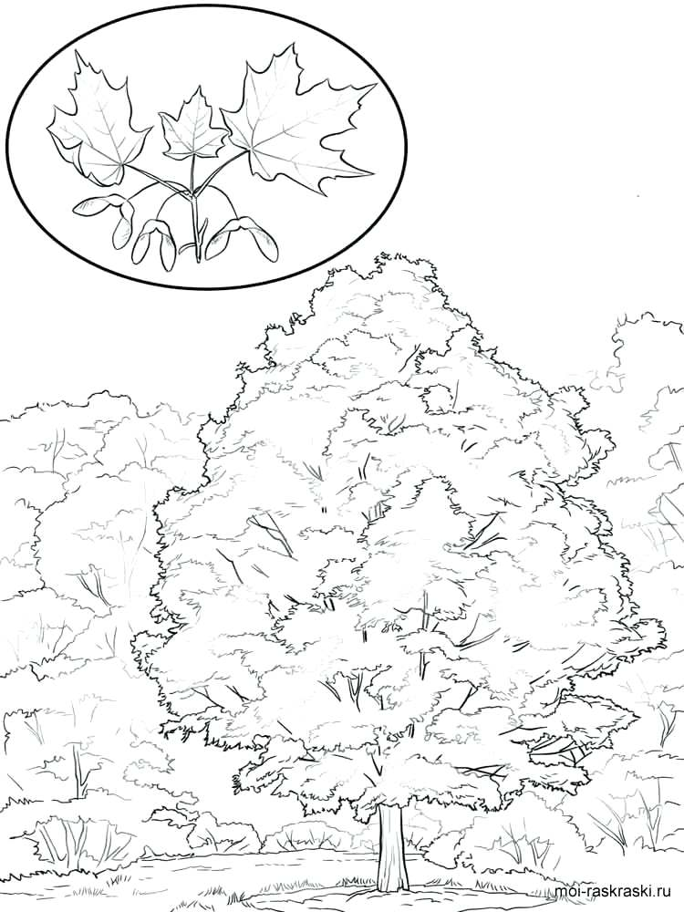750x1000 Outstanding Maple Tree Coloring Page Festooning