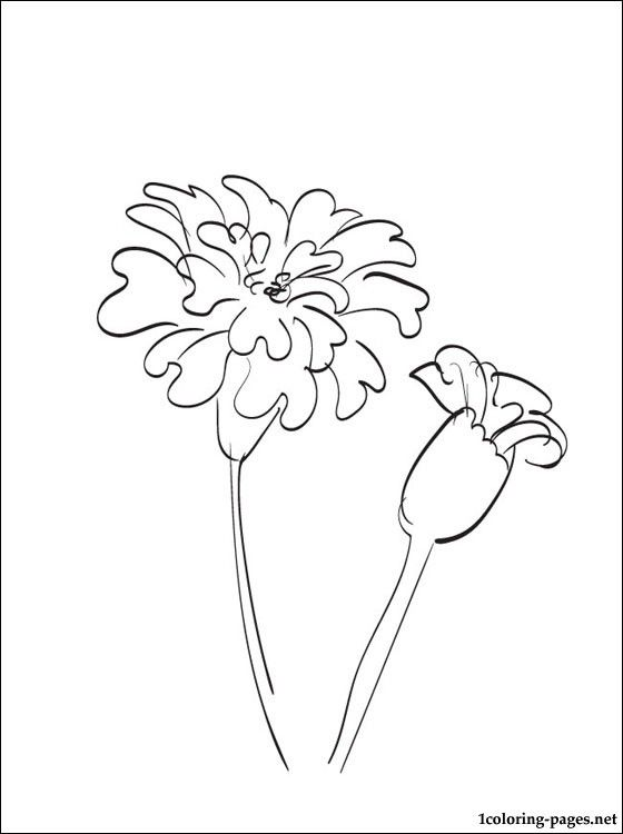 560x750 Image Result For Marigold Line Drawing Coloring Pages