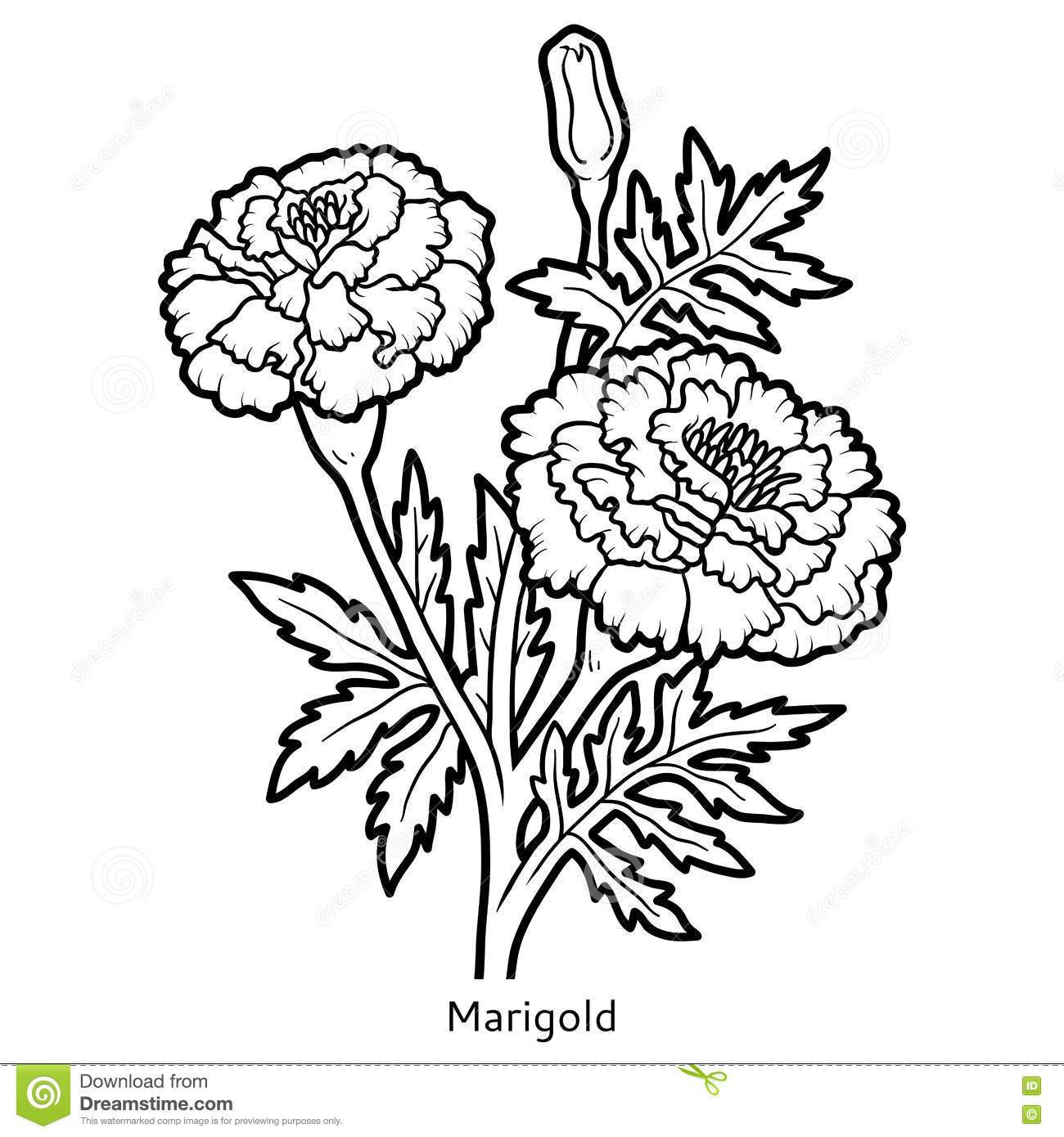 1300x1390 Inspiring Coloring Book Flower Marigold Stock Vector Image Pic