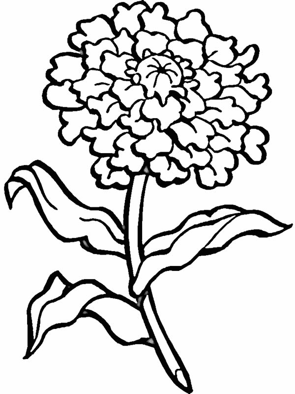 600x800 Marigold Coloring Page Blooming Flower Coloring Page Download
