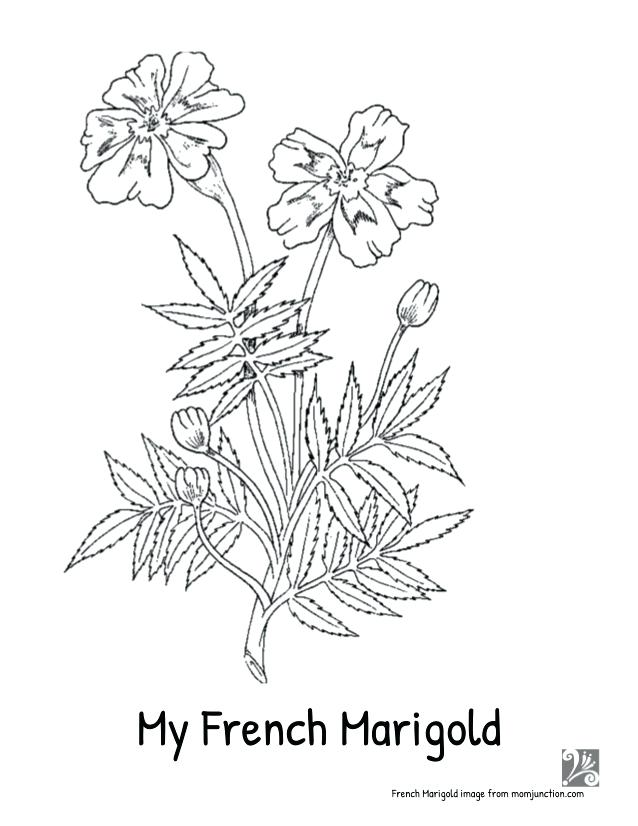 638x826 Marigold Coloring Page My Imagefrommomjunctioncom Marigold Flower