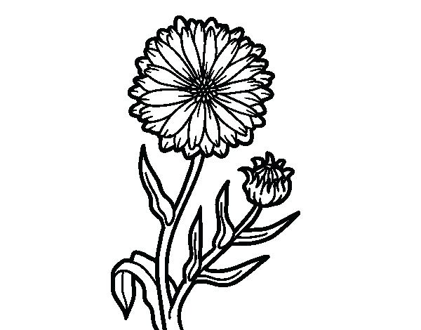 600x470 Marigold Coloring Page Pot Marigold Coloring Page Marigold Flower