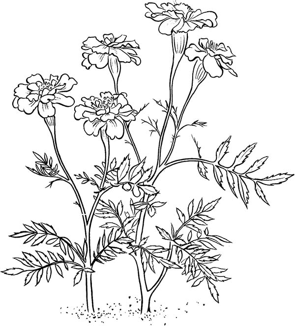600x664 Marigold Flower Coloring Page