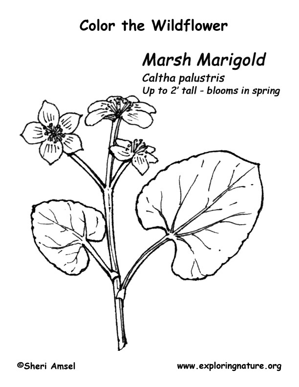 612x792 Marsh Marigold Coloring Page