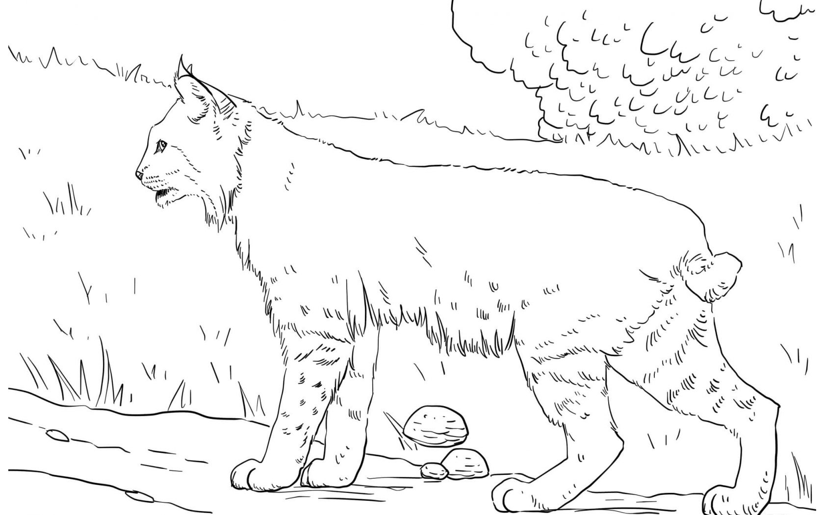 1680x1050 Lynx Coloring Pages For Kids Leopard Archaicawful Cat Printable