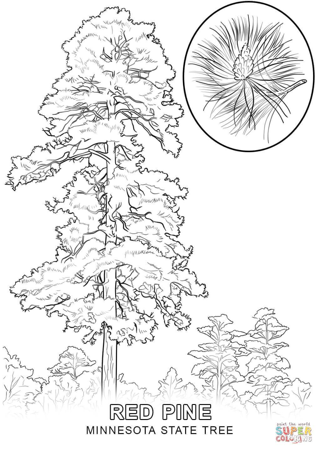 1020x1440 Marvelous Minnesota State Tree Coloring Page Printable Pict