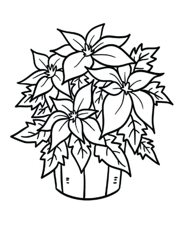 600x754 Poinsettia Coloring Page Mistletoe Coloring Page Mistletoe