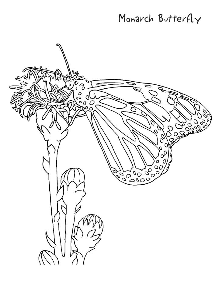 720x932 Monarch Butterfly Coloring Page For Kids