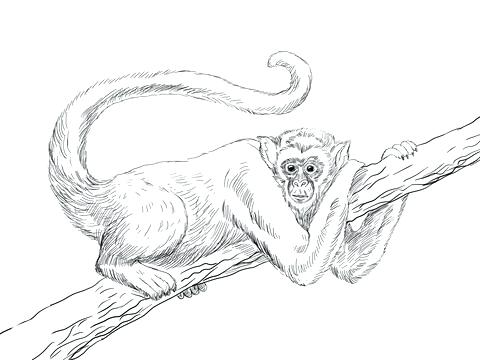 480x360 Coloring Pages A Monkey Or Spider Monkey Colouring Pages