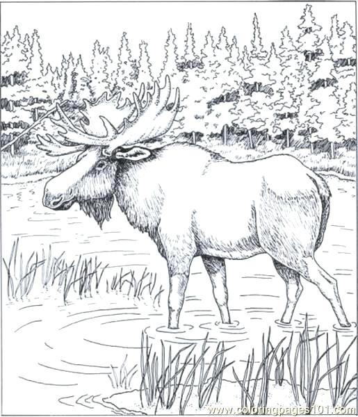 515x600 Moose Coloring Pages Printable Best Of Moose Coloring Pages If You