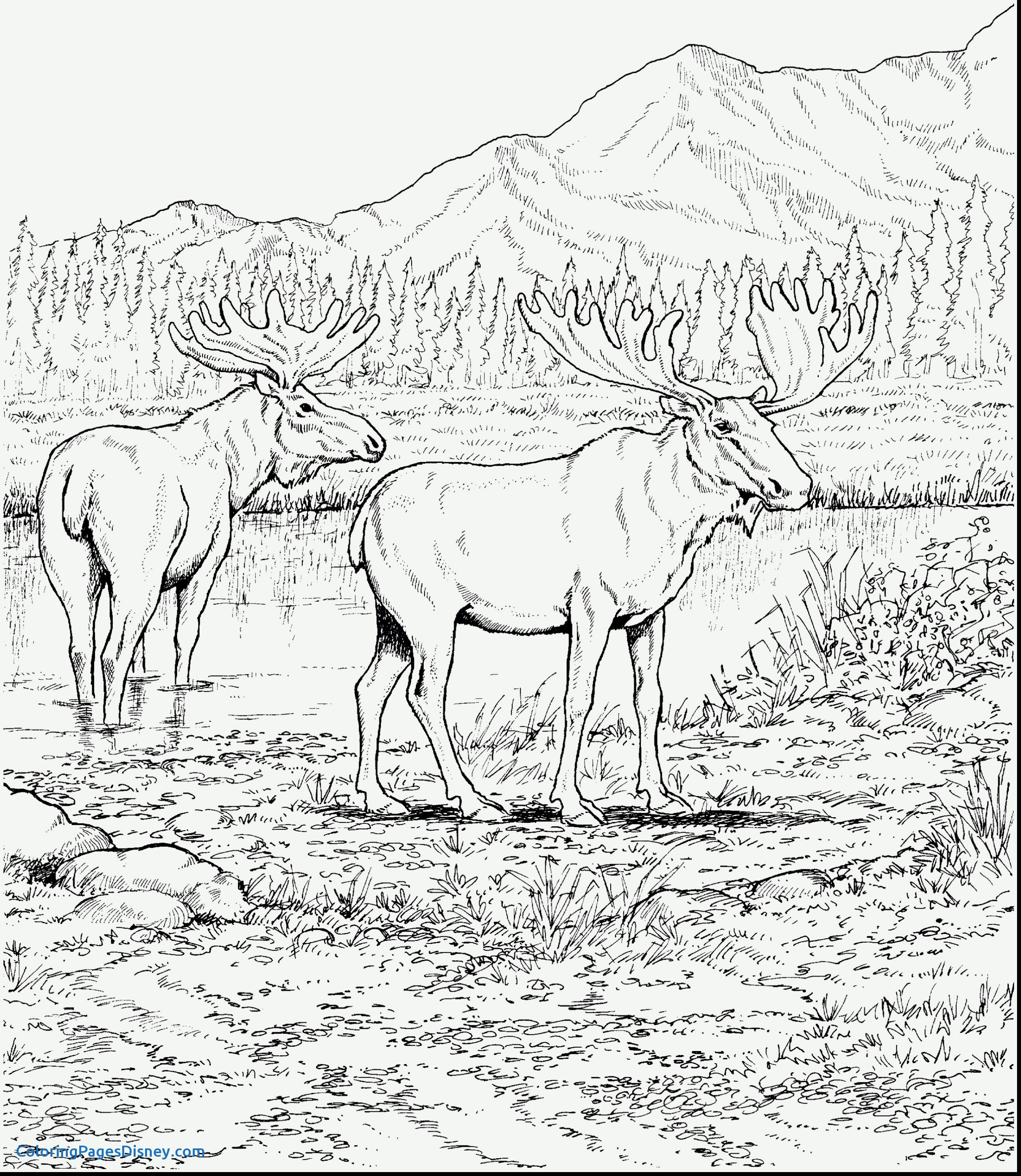 2590x2983 Caribou Coloring Pages Beautiful Moose Coloring Pages