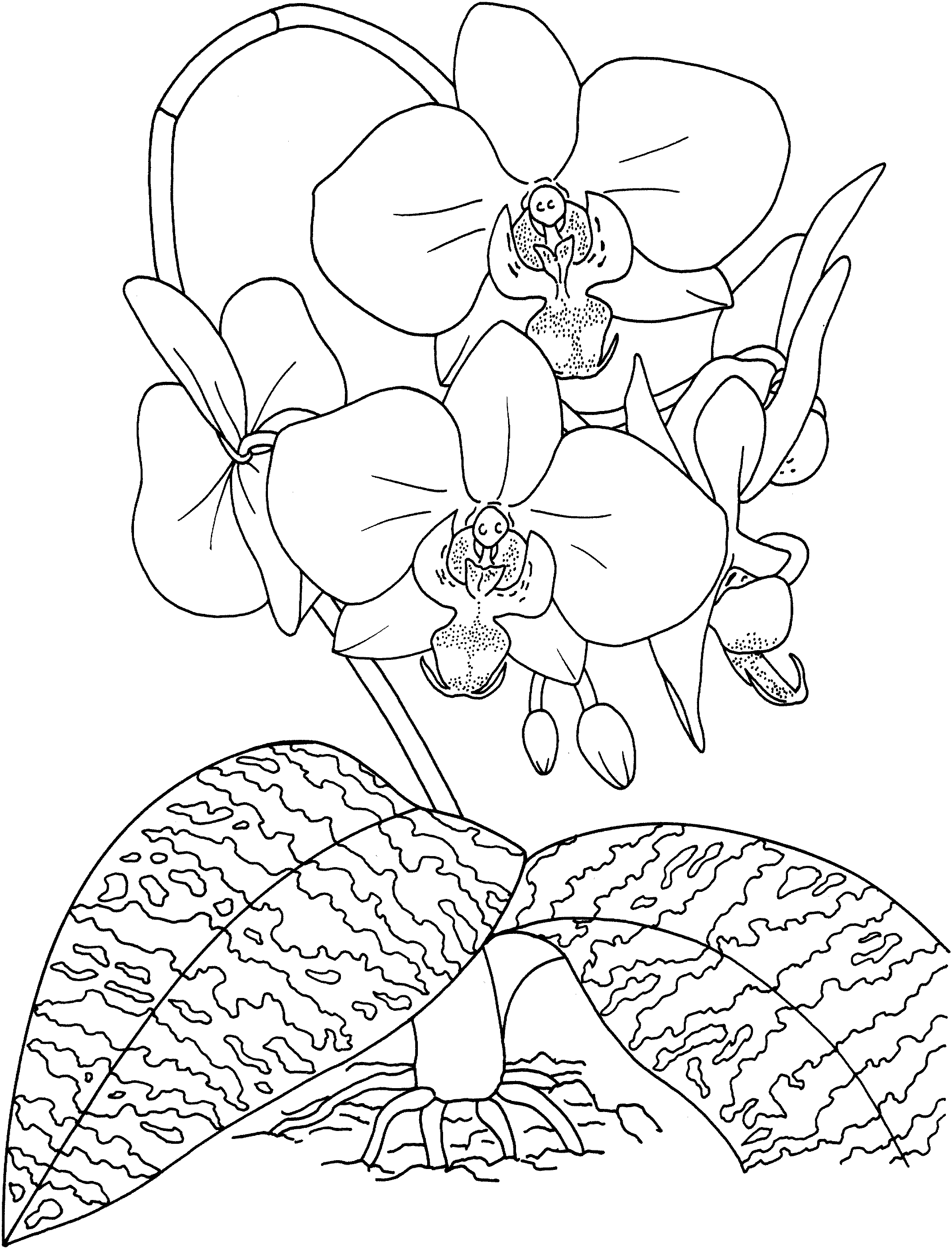 2153x2826 Fresh Orchid Flower Coloring Sheet Gallery Printable Coloring Sheet
