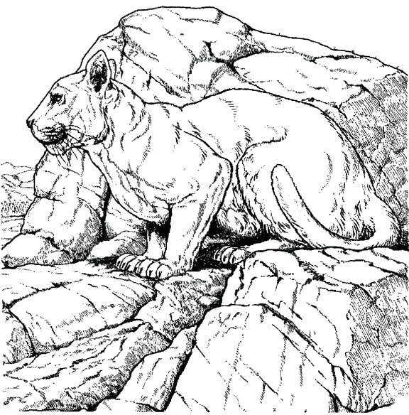 576x584 Mountain Lion Coloring Page Mountain Lion Coloring Pages Click