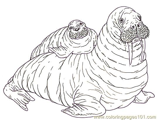 536x411 Mural Tsb Walrus Mother And Pup Reverse Coloring Page