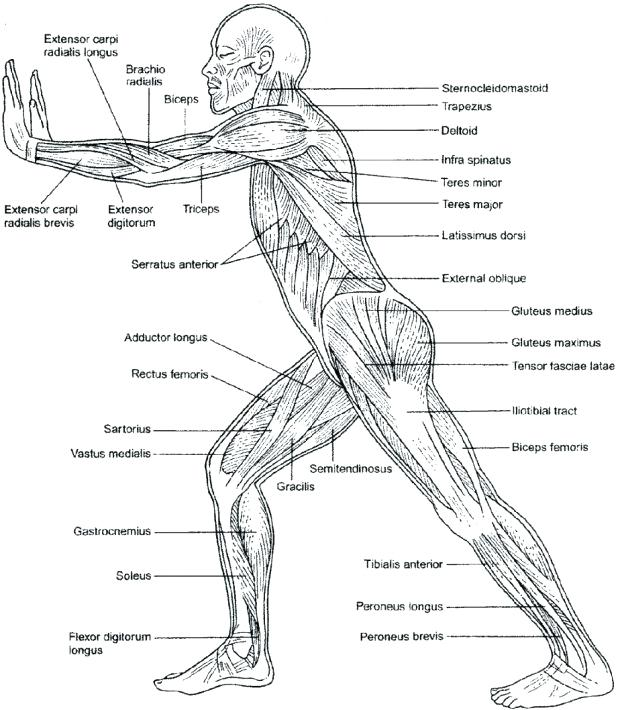 618x710 Muscular System Coloring Pages Anatomy Practice Worksheets Muscles