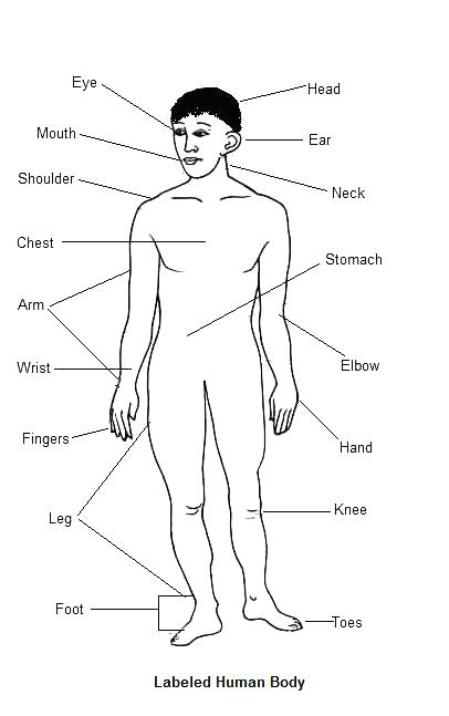 406x647 Muscular System Coloring Pages Anterior Muscles Of The Human Body