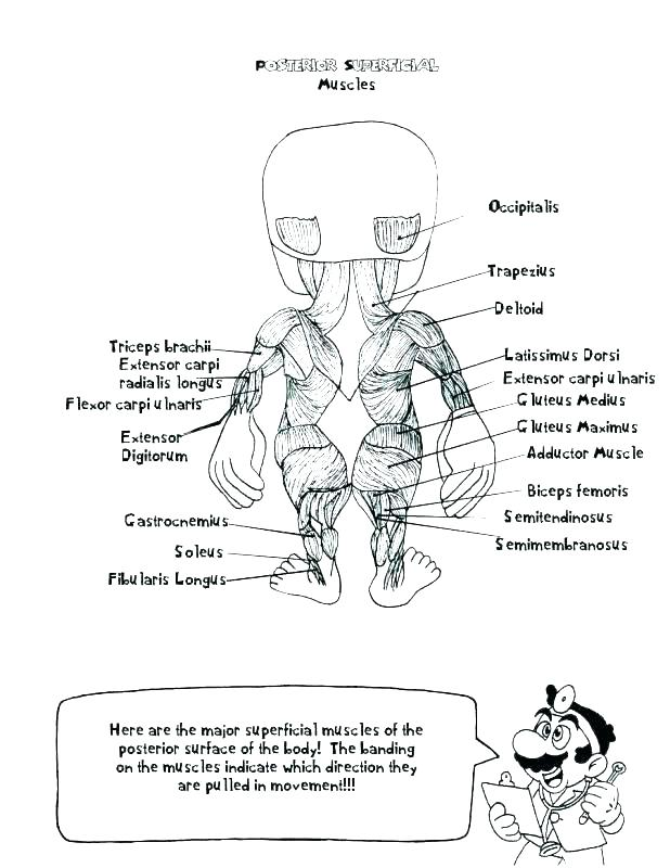 618x800 Muscular System Coloring Pages
