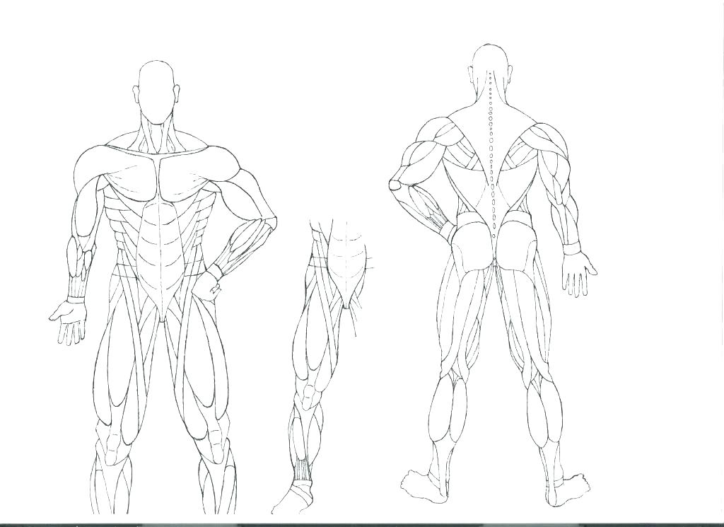 1024x745 Human Body Coloring Pages Affordable Muscular System Coloring