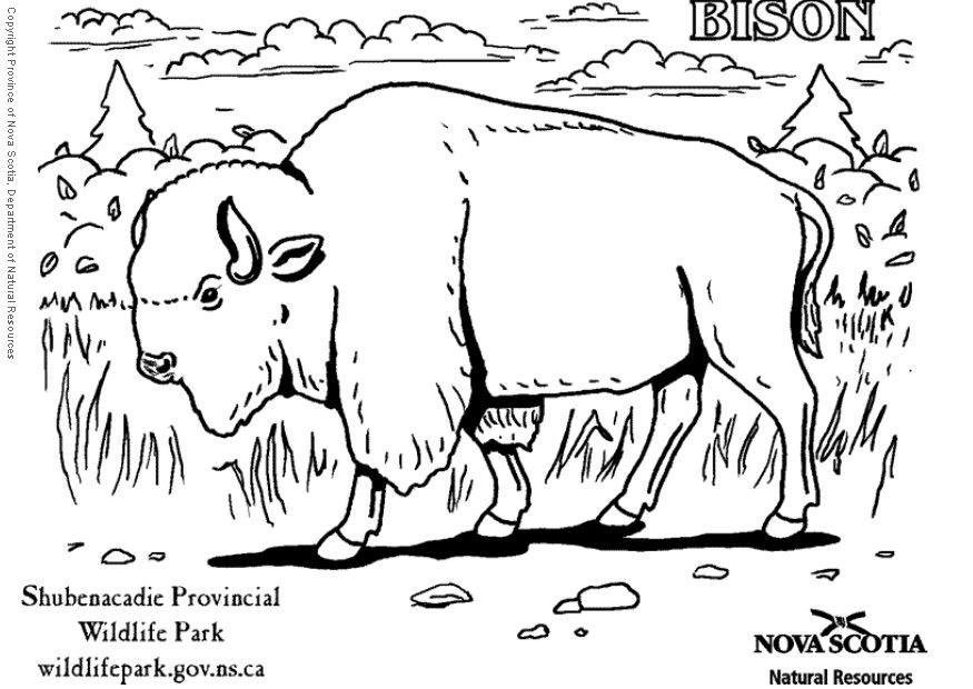 875x620 Coloring Page Bison