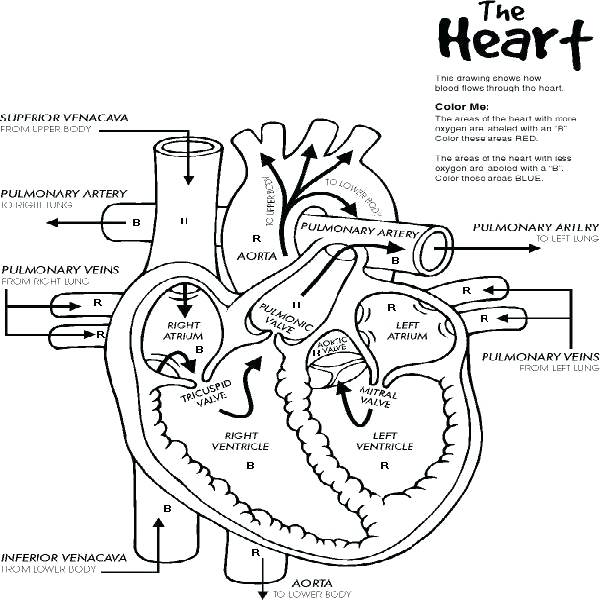 600x600 Heart Anatomy Coloring Pages Human Coloring Page Human Heart Free