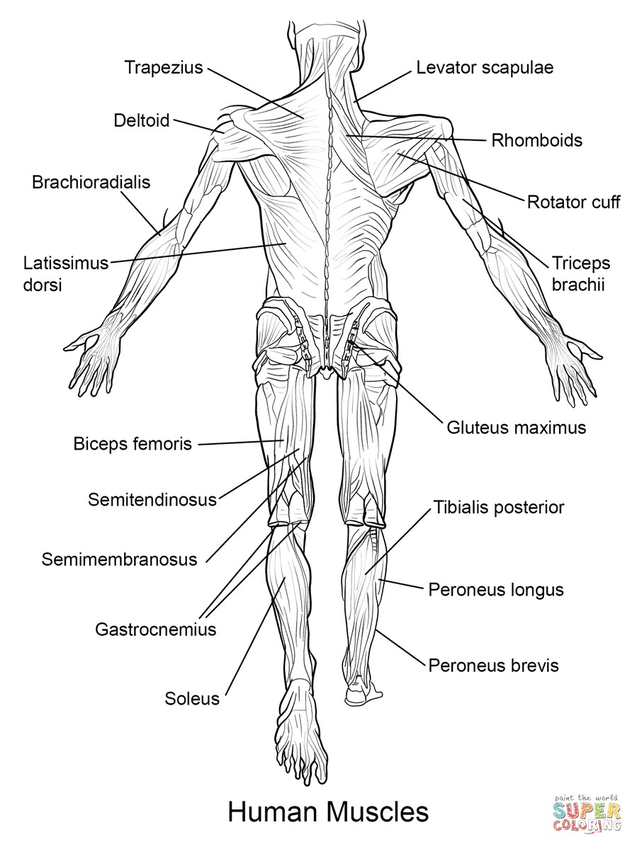 899x1199 Muscular System Coloring Pages Luxury Nervous System Drawing
