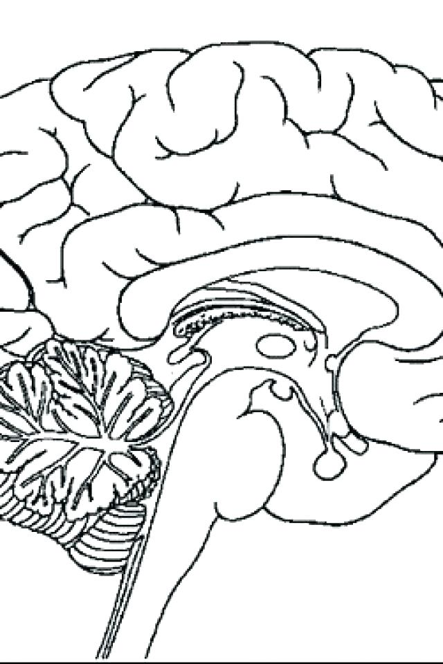 640x960 Nervous System Color Pages Brain Coloring Page The Drawn Pencil