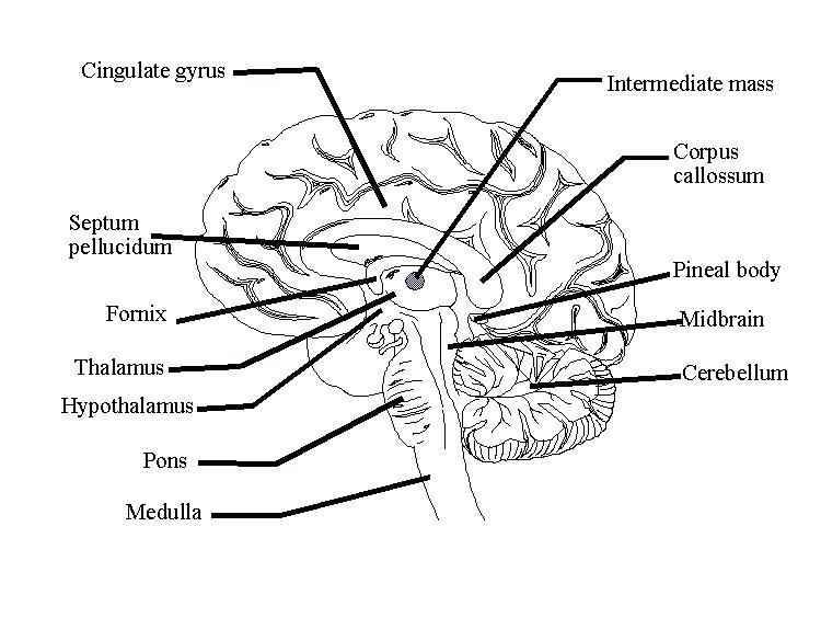 750x564 Nervous System Coloring Pages Horse Nervous System Central Nervous