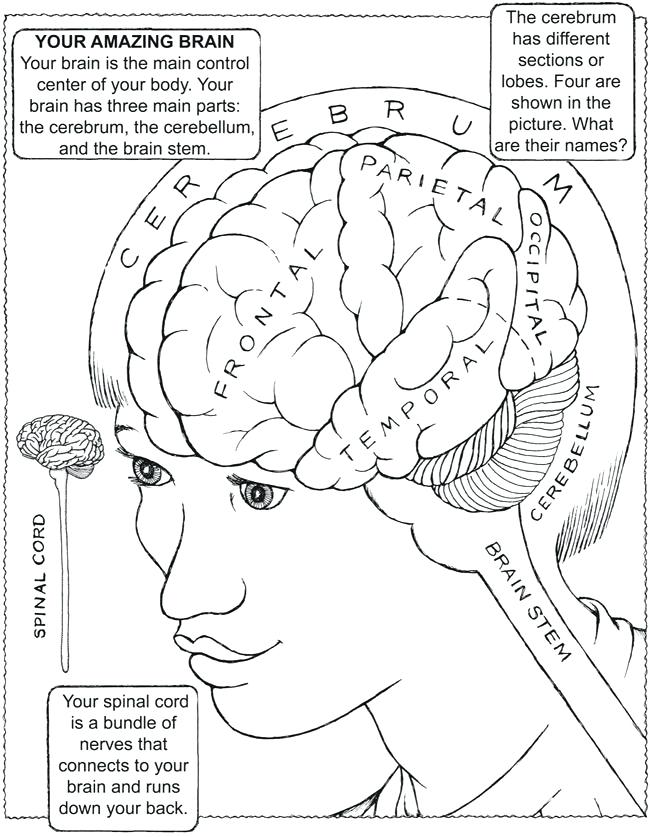 650x837 Nervous System Coloring Worksheet Drawn Brain Coloring Page