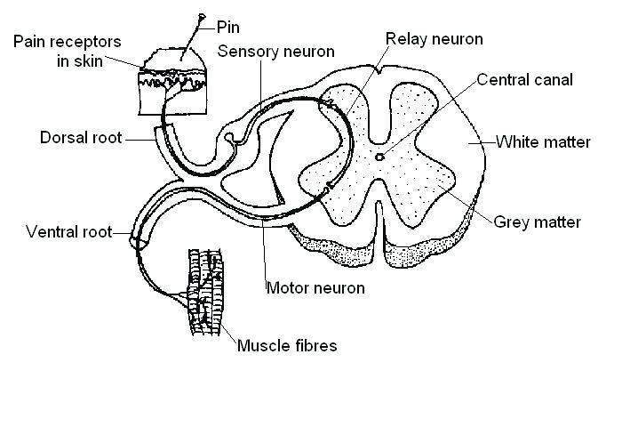 700x480 Nervous System Coloring Worksheet Nervous System Coloring