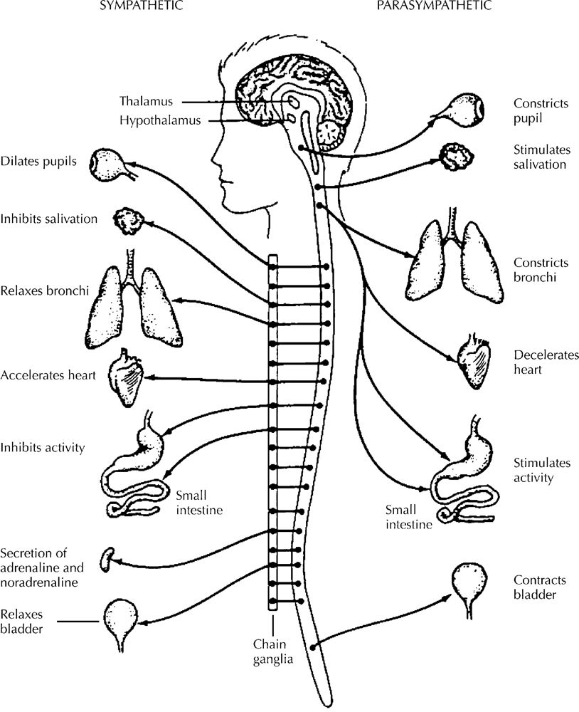 814x1000 Nervous System Coloring Page Coloring Nervous System