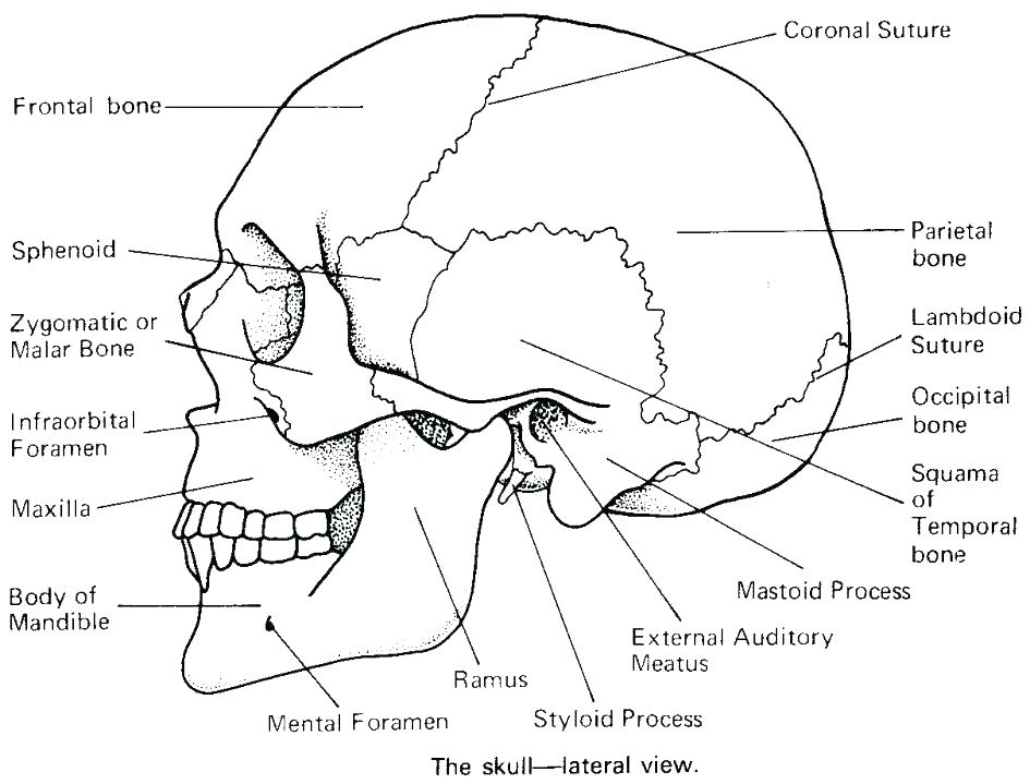945x719 Anatomy Coloring Pages Brain Anatomy Coloring Pages Human Coloring