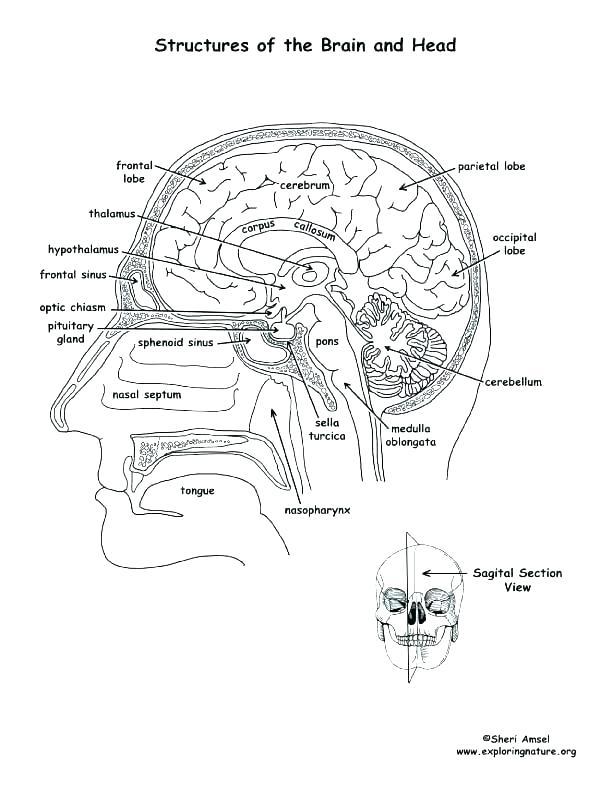 612x792 Autonomic Nervous System Coloring Pages Printable Coloring