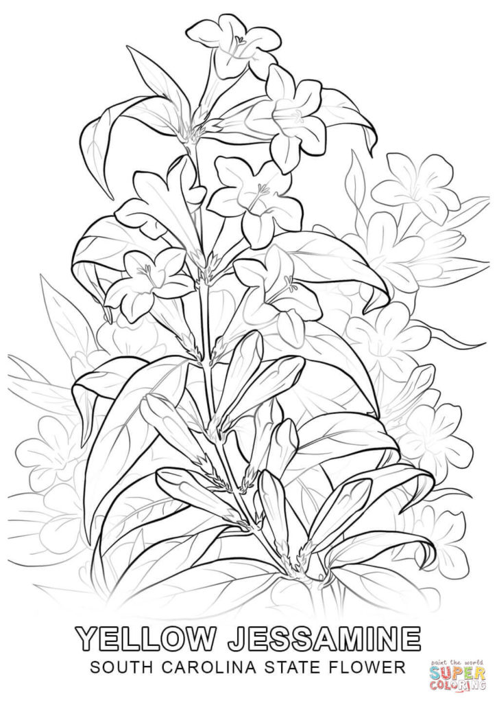 725x1024 South Carolina State Flower Coloring Page Free Printable