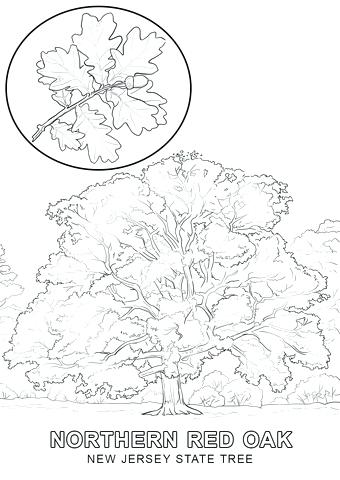340x480 Oak Tree Coloring Page New Jersey State Tree Coloring Page Red Oak
