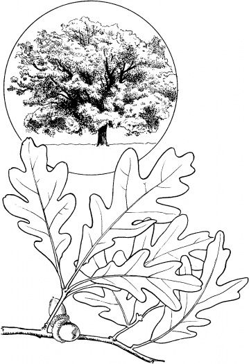 359x525 Oak Leave And Oak Tree Coloring Page Downloads And Sketches