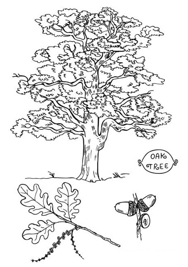 600x848 Picture Of An Oak Tree Coloring Page Color Luna