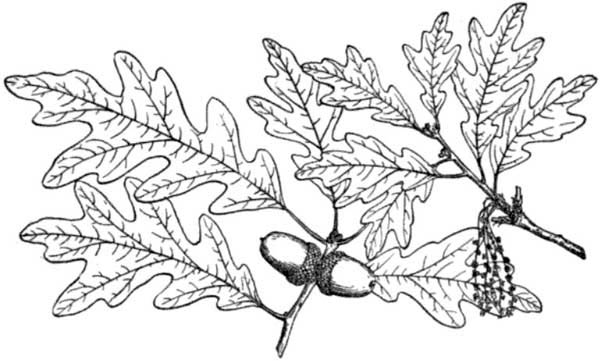 600x361 White Oak Tree Leaves Coloring Page Color Luna
