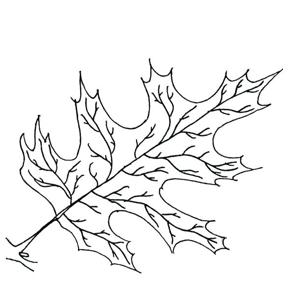 576x598 Oak Leaf Coloring Page Maple Tree Coloring Page Oak Leaf Coloring