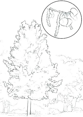 340x480 Oak Tree Coloring Page Coloring Page Tree Oak Tree Coloring Page