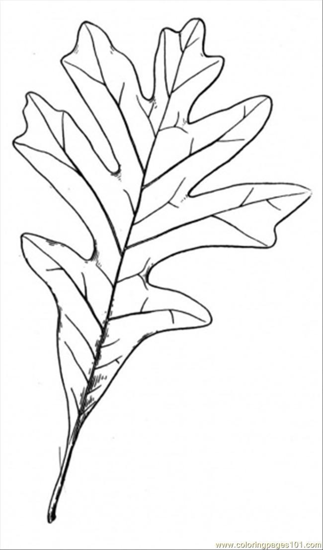 650x1107 Oak Coloring Page